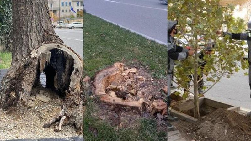 Atatürk parkındakı ağaclar niyə kəsilir? - AÇIQLAMA (FOTO)